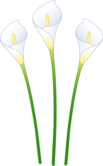 Three Lily Flowers